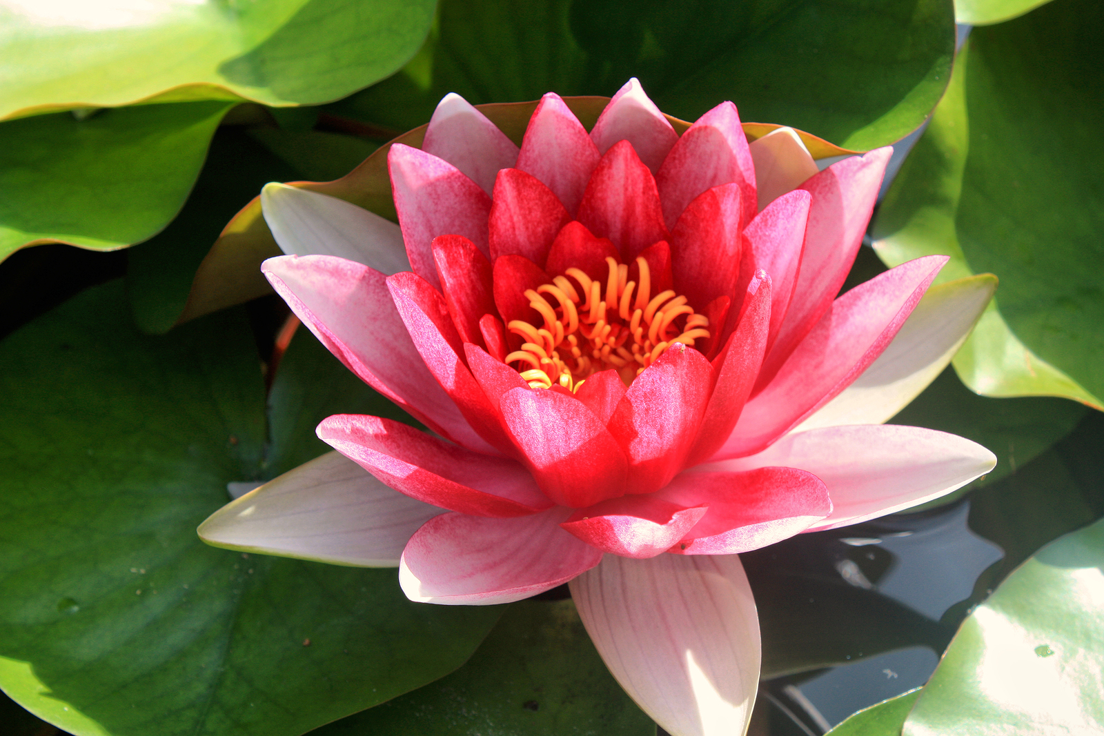 Pink water lily in a pond on a sunny day