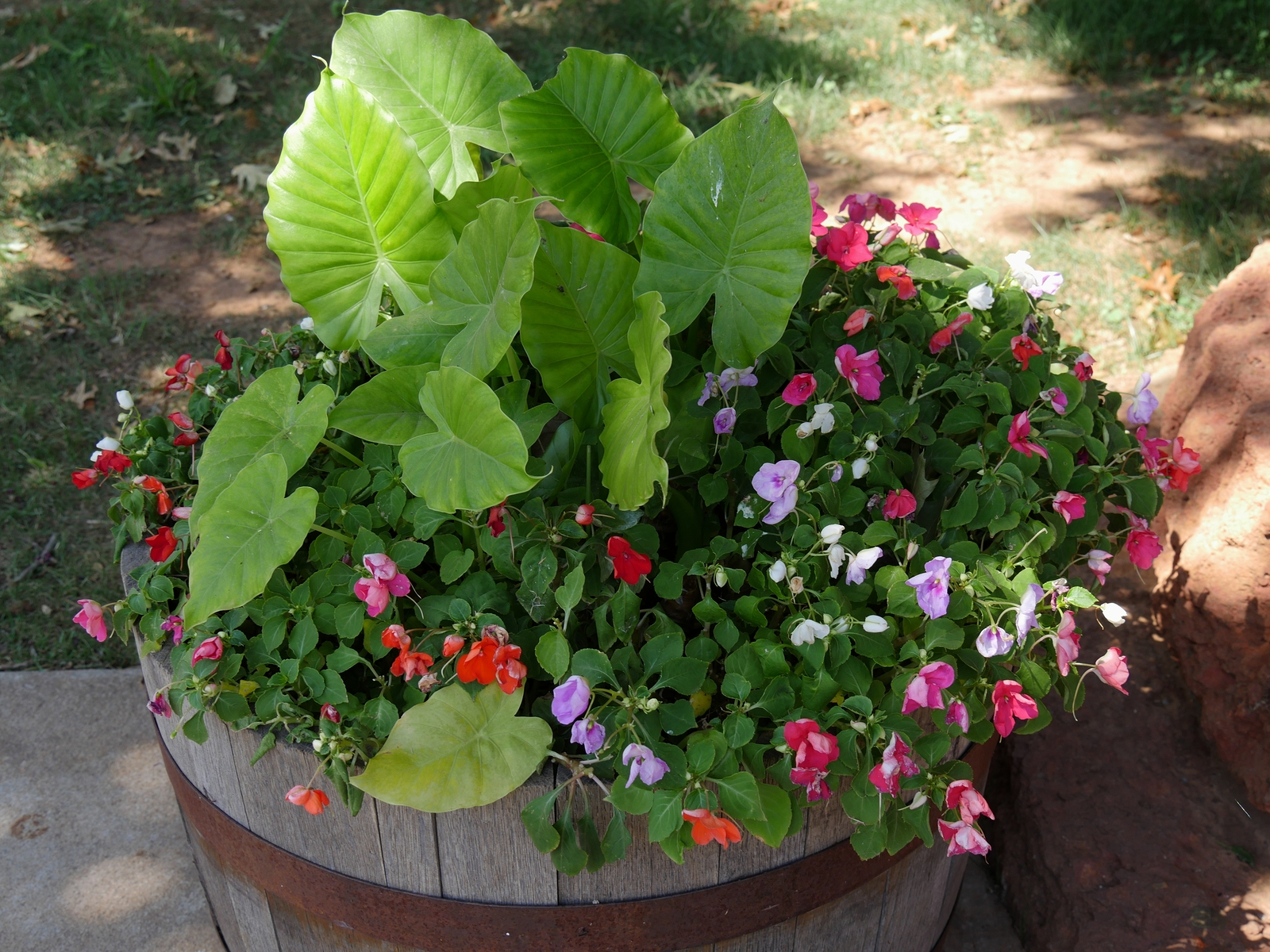 Big wooden pot filled with Primroses of different colors  and elephant ears