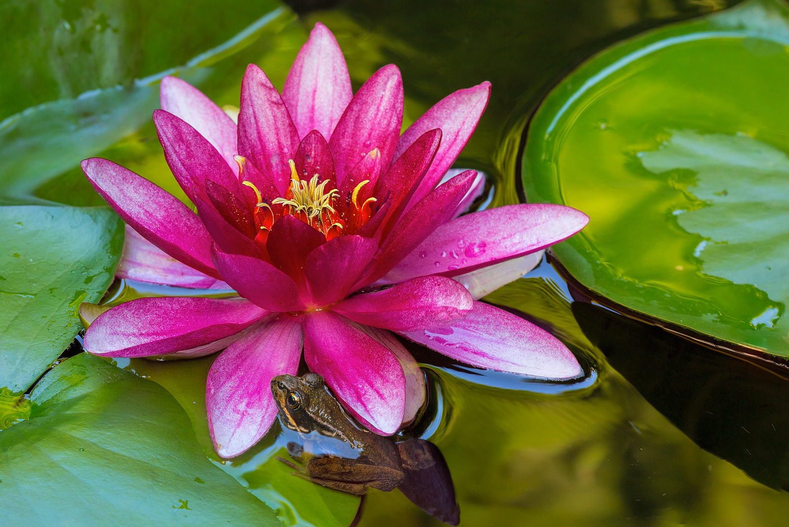 Pacific Tree Chorus Frog by Pink Water Lily Flower in Garden Backyard Pond