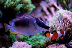 Magnificent Foxface in coral reef aquarium tank (Siganus magnificus)