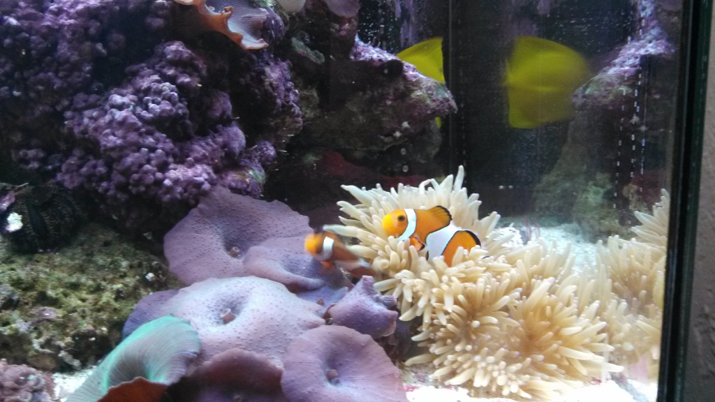 Clownfish in a nano reef